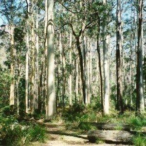 Sydney Blue Gum Tree